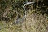 Gray crane, Masaimura National Reserve, Kenya