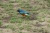 Supurp Staring, Masaimura National Reserve, Kenya