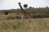 Masai Girrafes, Masaimura National Reserve, Kenya