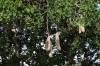 Sausage Tree (for local beer), Masaimura National Reserve, Kenya
