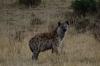 Hyena, Masaimura National Reserve, Kenya