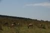 Hartebeest, Masaimara, Kenya