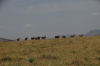 Eland in a row, Masaimara, Kenya