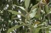 Sage Bush, used to repel mosquitos and as a perfume. Masaimara, Kenya
