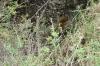Leopard, Masaimara, Kenya