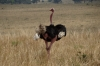 Ostrich dancing, Masaimara, Kenya
