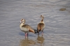 Egyptian Geese on the Mara River, Masaimara, Kenya
