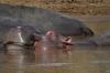 Hippopotamus on the Mara River, Masaimara, Kenya