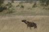 Hyena, Masaimara, Kenya