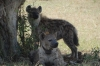 A pair of Hyenas, one is tagged, Masaimara, Kenya
