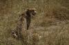 Leopard family kill a Grant's Gazelle, Masaimara, Kenya