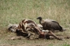 Vulture and Maribou Stork pick through a zebra carcass, Masaimara, Kenya