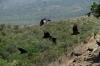 Vultures around Crater San Fernando