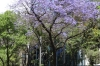 Jacarandas in bloom in Mexico City