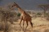 Giraffes.  Samburu National Park, Kenya
