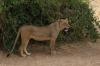 Lions.  Samburu National Park, Kenya