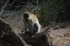 Vervet monkeys.  Samburu National Park, Kenya