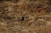 Splendid Starling.  Samburu National Park, Kenya