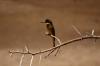 Little Bee Eater. Samburu National Park, Kenya