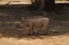 Warthog, Samburu National Park, Kenya