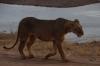 Lions heading home. Samburu National Reserve, Kenya
