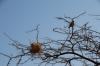 White-browed sparrow weaver and nest. Samburu National Reserve, Kenya