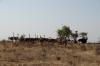 Ostrich family. Samburu National Reserve, Kenya