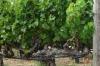 Trellising of vines is different here. Mondavi Vineyard, Napa Valley