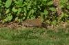 Groundhog, Biltmore Estate, Asheville NC