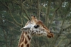 Rothschild Giraffe. Lake Nakuru National Park, Kenya