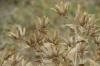 Fried grasses, near Samarkand