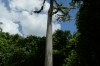 Ceiba tree, tree of life for Maya's, with bromelaids