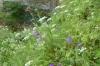 Flowers at the Valeste waterfall, EE